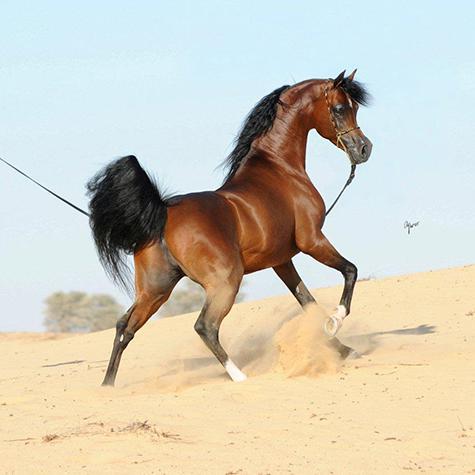 اسب عرب
